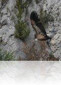 dsc 5157.jpg Vautour fauve Gyps fulvus à l\'Embassament de Canelles sur le rio Noguera Ribagorçana