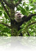 dsc 2075.jpg Capucin à tête blanche Cebus capucinus sur le sentier des toucans dans la réserve d\'Arenal