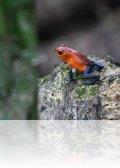 dsc 1435.jpg Dendrobate bluejean Oophaga pumilio dans la réserve de la Selva