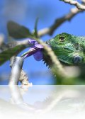 dsc 0978.jpg Pépito, iguane vert pensionnaire de l\'hôtel Linda Vista Montana