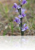 dsc 3670.jpg Orchidée limodore à feuilles avortées dans la forêt bordant la rivière Vauvaris