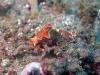 dsc 0171.jpg Nudibranche Ceratosoma tenue à Pintu colada 2, Lembeh, Sulawesi