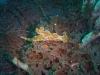 dsc 0236.jpg Nudibranche Ceratosoma tenue à Teluk Kembalu III, Lembeh, Indonésie