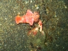 img 0341.jpg Nudibranche Ceratosoma sp 3 à Jahir II, Lembeh, Sulawesi