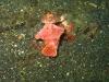 img 0342.jpg Nudibranche Ceratosoma sp 3 à Jahir II, Lembeh, Sulawesi