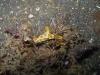 img 0550.jpg Nudibranche Ceratosoma tenue à Retak larry, Lembeh, Sulawesi