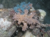 p 9090219.jpg Nudibranche Ceratosoma trilobatum et sa ponte à Paradise I à Mabul, Sabah, Malaisie