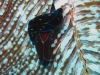 img 3006.jpg Limace de mer Chelinodura punctata à Campbell Shoal, Andaman, Inde