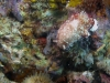 dsc 0074.jpg Nudibranche Chromodoris sp7 à Lobobo's dream, Togians, Sulawesi