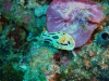 dsc 01868.jpg Nudibranche Chromodoris sp 29  (photo Roland)