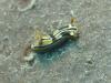 dsc 0231.jpg Nudibranche Chromodoris colemani à Flesko, Togians, Sulawesi