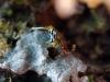 dsc 0523.jpg Nudibranche Chromodoris strigata à Wahoo point, Milne bay, PNG