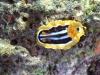 epv 0093.jpg Chromodoris quadricolor sur la barge de Bluff Point  en  Mer Rouge égyptienne