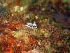 img 2142.jpg Nudibranche Chromodoris geometrica à Old volcano, Camiguin, Philippines