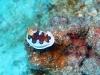 img 3135.jpg Nudibranche Chromodoris gleniei à South Button, Andaman, Inde