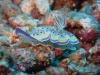 img 3140.jpg Nudibranche Chromodoris geminus à South Button, Andaman, Inde