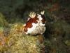 img 3149.jpg Nudibranche Chromodoris gleniei à South Button, Andaman, Inde
