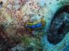 img 3192.jpg Nudibranche Chromodoris elizabethina à Havelock island, Midle point, Andman, Inde