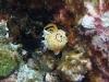 p 3270170.jpg Nudibranche Chromodoris annulata, en train de pondre à Black rock, îles Mergui, Birmanie