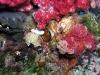 p 3270197.jpg Nudibranches Chromodoris annulata à Black rock, îles Mergui, Birmanie