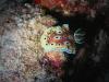 p 3310079.jpg Nudibranche Chromodoris geminus à East of Eden, Similan 7, Thaïlande