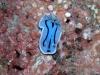 p 910034.jpg Nudibranche Chromodoris annae à Barracuda point, Sipadan, Sabah, Malaisie