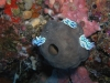 p 9120096.jpg 1 Nudibranche Chromodoris dianae + 2 Chomodoris willani à Staghorn crest, Sipadan, Malaisie