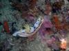 pa 030291.jpg Nudibranche Chromodoris michaeli à Cannibal rock, Rinca island, parc national de Komodo, Indonésie