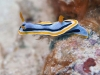dsc 0032.jpg Nudibranche Chromodoris annae à Cherrie's reef, Milne bay, PNG