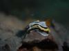 dsc 0114.jpg Nudibranche Chromodoris annae à Valia's place, mer de Bismarck, PNG