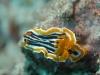 dsc 0114.jpg Nudibranche Chromodoris magnifica à  Batu tetek II, Togians, Sulawesi