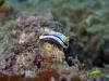dsc 0117.jpg Nudibranche Chromodoris annae à Nudis' retreat, Lembeh, Sulawesi