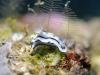 dsc 0467.jpg Nudibranche Chromodoris lochi à Barracuda point, Milne bay, PNG