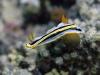 dsc 0554.jpg Nudibranche Chromodoris annae à Sponge heaven, Milne bay, PNG