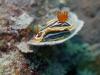 dsc 0693.jpg Nudibranche Chromodoris magnifica à Cherrie's reef, Milne bay