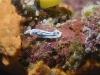 dsc 0931.jpg Nudibranche Chromodoris lochi à South Emma reef, Kimbe bay, PNG