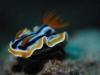 dsc 0092.jpg Nudibranche Chromodoris magnifica sur le House reef d'Alor divers, Alor, Indonésie