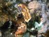 dsc 0355.jpg Nudibranches Chromodoris coi à Nudi retreat, Lembeh, Sulawesi