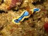 img 0175.jpg Nudibranche Chromodoris annae à Lekuan II,Bunaken island, Sulawesi, Indonésie