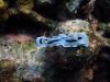 img 0212.jpg Nudibranche Chromodoris dianae à Lekuan III, Bunaken island, Sulawesi