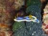 img 0246.jpg Nudibranche Chromodoris annae à Mike's point, Bunaken, Indonésie