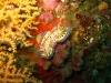 img 0419.jpg Nudibranche Chromodoris kuniei à Nudi retreat, Lembeh, Indonésie