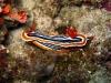 img 1940.jpg Nudibranche Chromodoris magnifica à Flower beach resort housereef, Anda, Bohol, Philippines