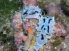 p 9130223.jpg Nudibranches Chromodoris dianae au Drop-off, Sipadan, Malaisie