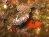 img 4595.jpg Nudibranche Hervia Cratena peregrina (endémique Méditerranée) sur le 2B à Calvi, Corse