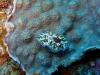 img 0116.jpg Nudibranche Dendrodoris tuberculosa à Tanjung roda, Ruang island, nord Sulawesi