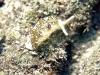 dscx 0348.jpg Limace de mer Elysia ornata à Lawadi, Milne bay, PNG