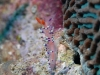 dsc 0060.jpg Nudibranche Flabellina exoptata à Lobobo's dream, Togians, Sulawesi