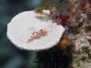dsc 0120.jpg Nudibranche Flabellina rubrolineata à Tania's reef, Milne bay, PNG