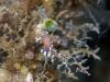 dsc 0878.jpg Nudibranche Flabellina exoptata à  Dominik's rock, Togians, Sulawesi